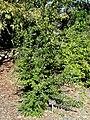 Punica granatum 'Toyosho' - J. C. Raulston Arboretum - DSC06183.JPG
