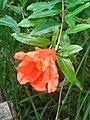 Punica granatum flower (3).jpg