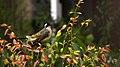 Pycnonotus sinensis - panoramio (007).jpg