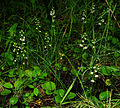 Pyrola rotundifolia - group.jpg