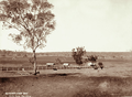 Queensland State Archives 2338 Farmhouse and cattle in mid distance at Smiths farm near Allora 1897.png