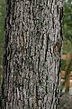 Quercus alba 25zz.jpg