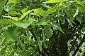 Quercus bicolor kz03.jpg
