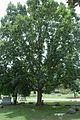 Quercus muehlenbergii (23915841420).jpg