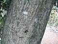 Quercus salicina1.jpg