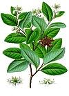 Quillaja saponaria - Köhler–s Medizinal-Pflanzen-119.jpg