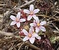 RAGGED NETTLESPUR (Jatropha macrorhiza) (6-2-11) harshaw rd, patagonia, scc, az -01 (5791608143).jpg