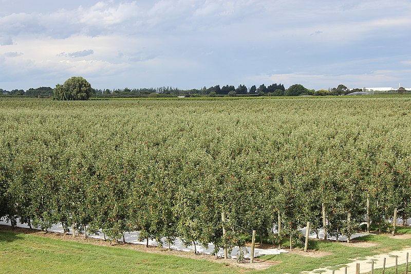 File:RK 1301 4473 Apfelplantage Napier.jpg