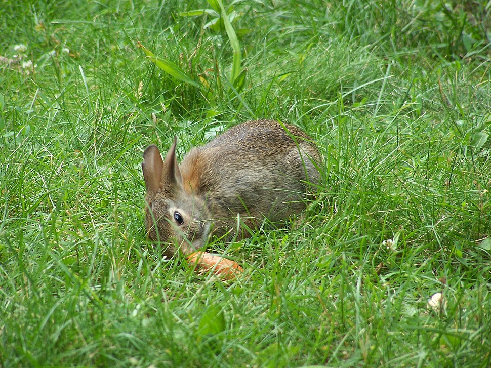 Rabitt-and-carrot2