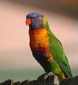 Rainbow Lorikeet (Trichoglossus moluccanus) on fence, Sydney