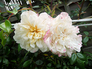 A Rambling Rose growing in a garden in London....
