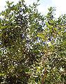 Rambutan tree.jpg