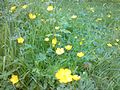 Ranunculus acrisKew1.jpg