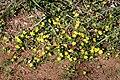 Ranunculus ficaria2 .jpg