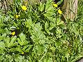 Ranunculus repens(02).jpg