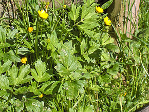 Description de l'image Ranunculus repens(02).jpg.