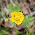 Ranunculus repens in Aveyron (12).jpg