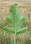Rapistrum rugosum leaf6 (14942451341).jpg