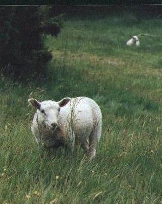 Skørping - Sheep wandering through the hills of Rebild Bakker in Skørping municipality, Denmark.