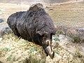 Reconstitution d'un rhinocéros laineux 2.jpg