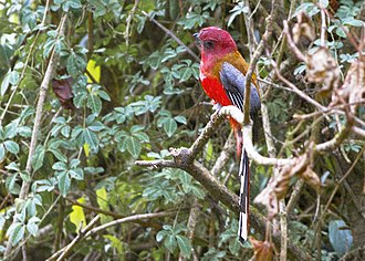 Red-headed trogon - From Neora Valley National Park, West Bengal, India.