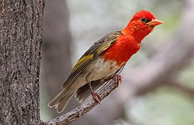 Red-headed Weaver, Anaplectes rubriceps at Marakele National Park, Limpopo Province, South Africa (male in breeding plumage) (15679994373).jpg