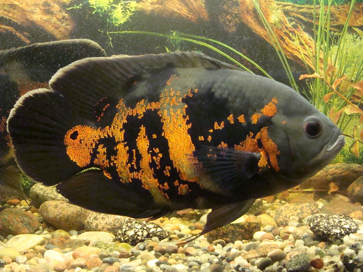 Astronotus ocellatus wikipedia for Boccia pesci