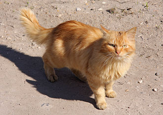 "Cat coat genetics - This cat shows the ""red"" O- genotype."
