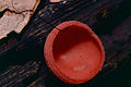Red Cup Fungus (Cookeina sp.) (14256435622).jpg