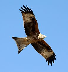 Red Kite (Milvus milvus) (22).JPG