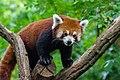Red Panda (36790527124).jpg