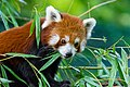 Red Panda (36831352173).jpg