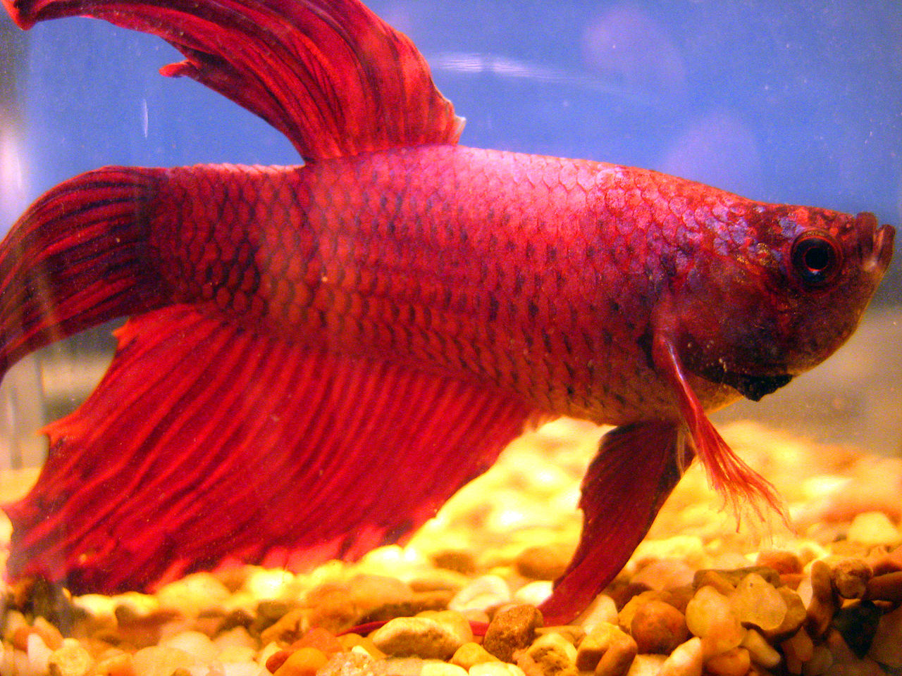 Betta Fish Names Images >> Just Got My First Betta Fish What Is A ...