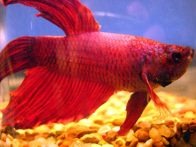 File:Red betta fish.jpg