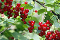 Red currants.jpg