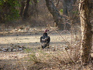 Red-headed vulture - Red headed vulture female at Ranthambore