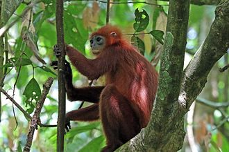 Maroon leaf monkey - Gomantong, Borneo