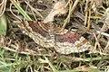 Red twin-spot carpet (NH266) (28223020472).jpg