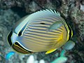 Redfin butterflyfish (Chaetodon lunulatus) (32396204517).jpg