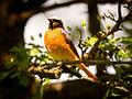 Redstart (18670987538).jpg