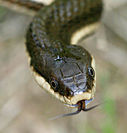 Snakes lick their mouths closed.