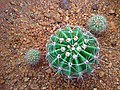 Replanted Echinopsis oxyyona with young buds.jpg