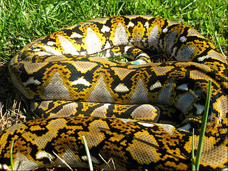 "Reticulated python - The ""reticulated"" net-like patterning that gives the reticulated python its name"