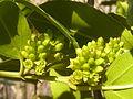 Rhamnus alaternus, manlike bloeiwyses, Meiringskloof, a.jpg