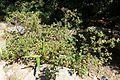 Rhododendron campylogynum - VanDusen Botanical Garden - Vancouver, BC - DSC07123.jpg