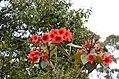 Rhododendron rarilepidotum (33122795930).jpg