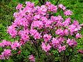 Rhododendron sp. 027.JPG