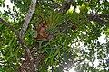 Ridley's Staghorn (Platycerium ridleyi) (23890252815).jpg