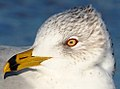 Ring-billed Gull - Larus delawarensis, Delaware Seashore State Park, Indian River Inlet, Delaware (40045048702).jpg