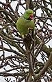 Ring Necked Parakeet (Psittacula krameri) - geograph.org.uk - 1173981.jpg